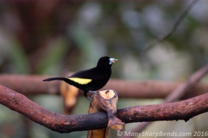 Lemon-rumped Tanager - Male