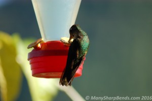Rufous-tailed Hummingbird feeder