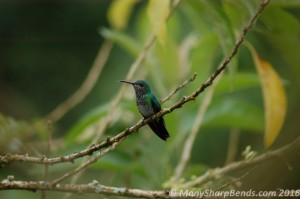 White-necked Jacobin - Female