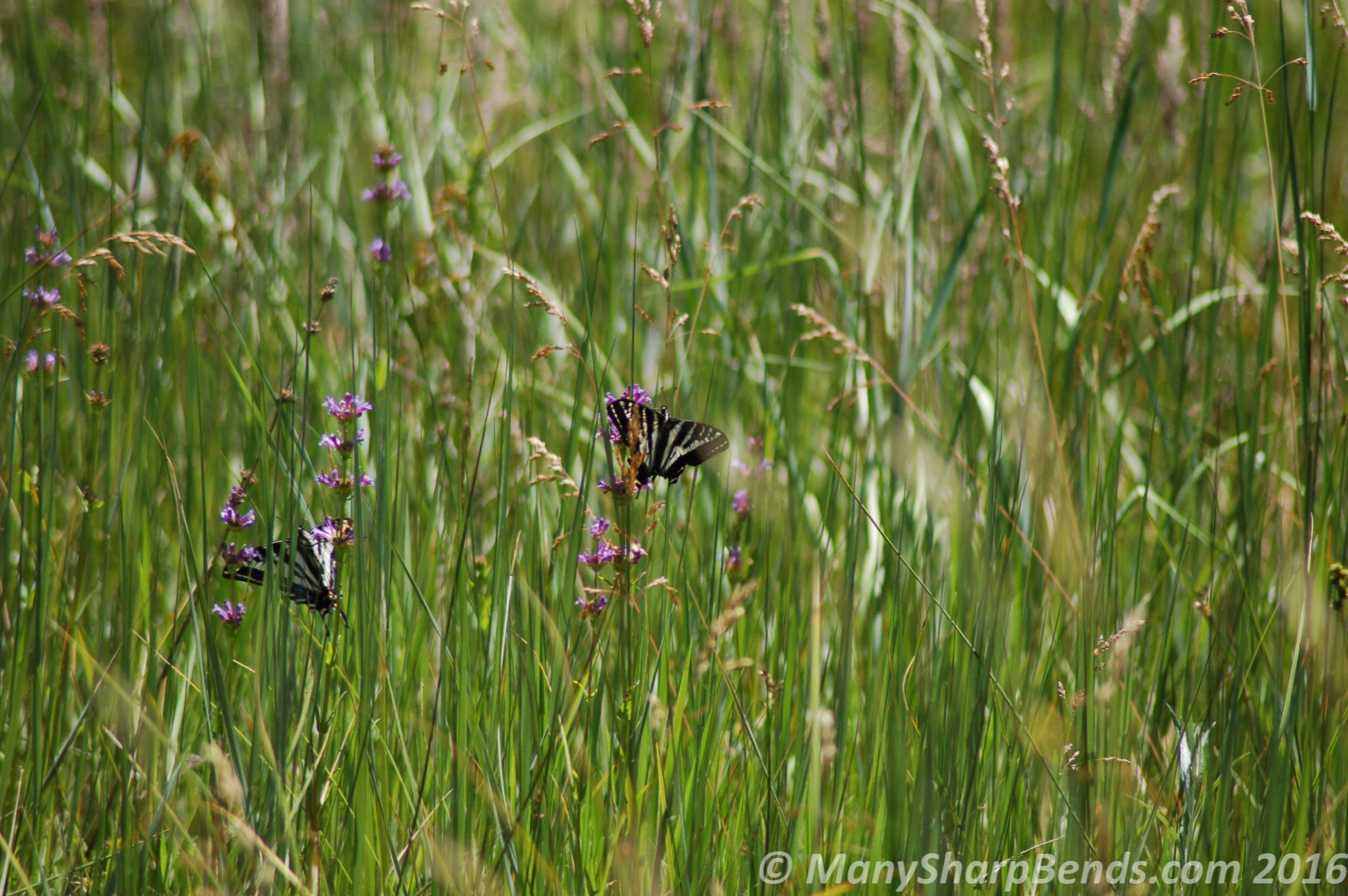 Winged Beauties - a couple of Swallow Tailed Butterflies in the meadows near El Capitan