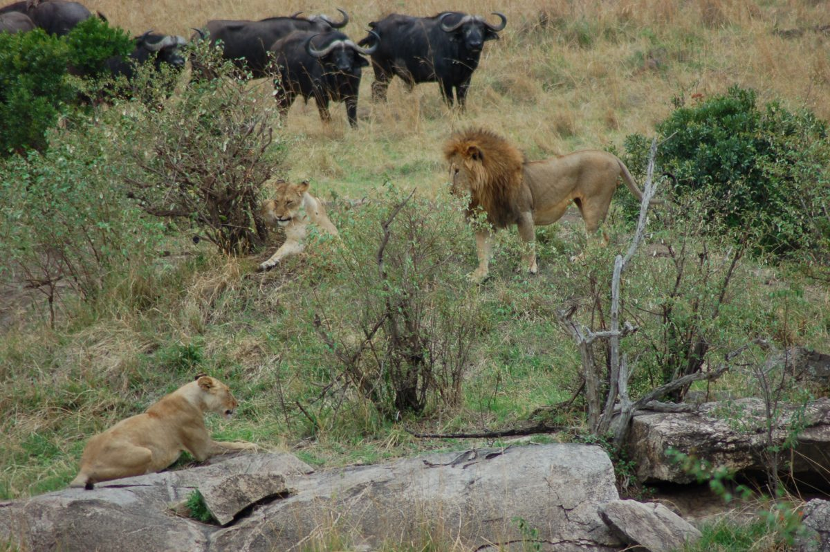 Masai Mara: In quest of The Great Migration & Africa's Big 5