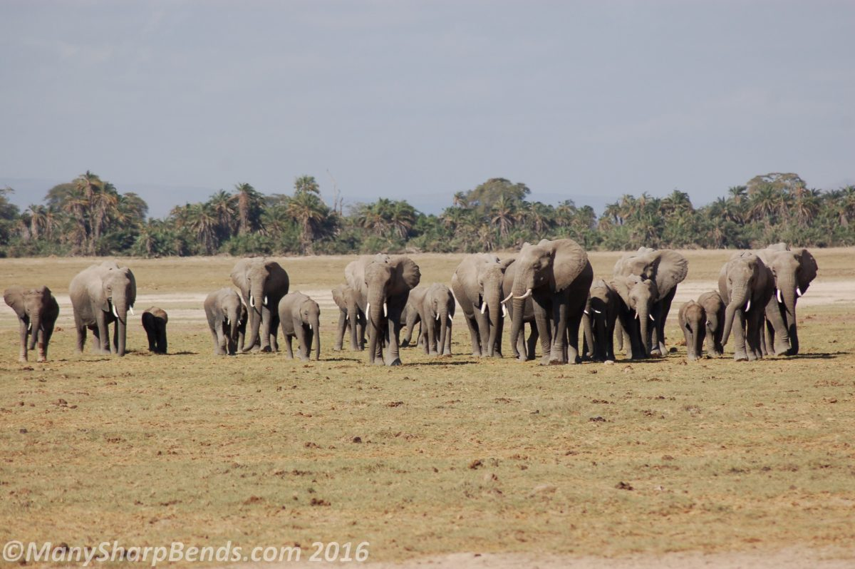 Amboseli: Where the Elephants Amble
