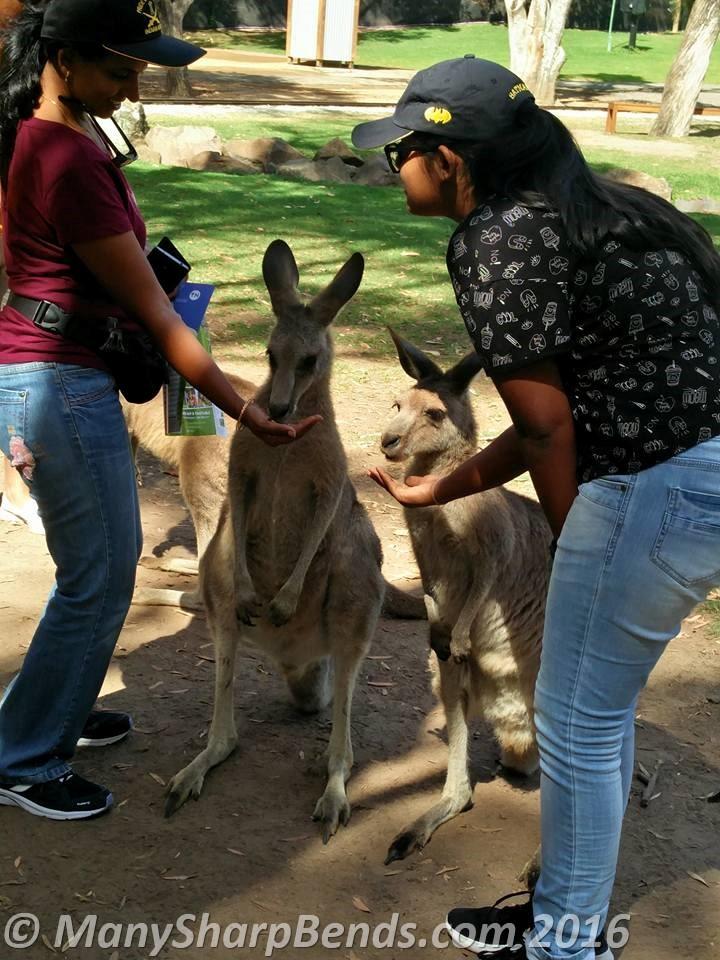 feeding-kanga-roo