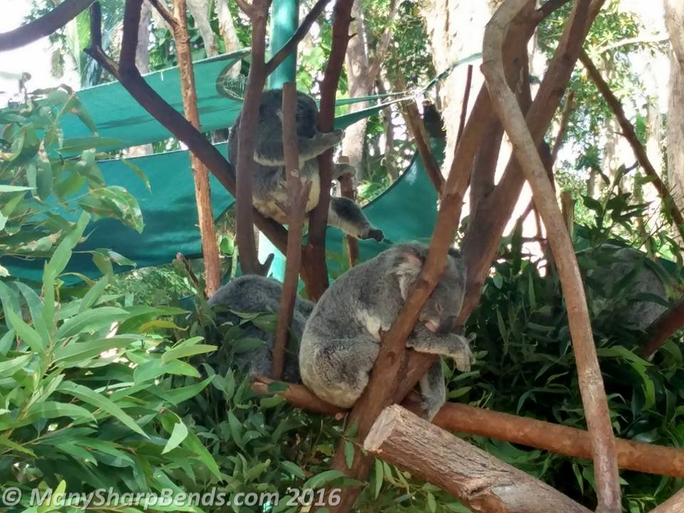 Adorable koalas, native to coastal eastern & southern Australia, are a threatened species