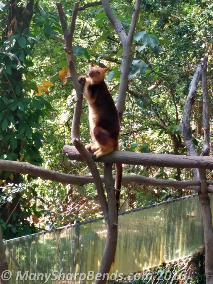 Goodfellow's Tree Kangaroo, native of rainforests of New Guinea